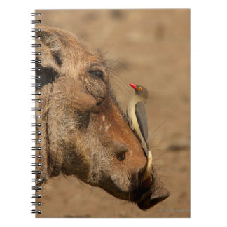 An Oxpecker on a warthogs snout, Isimangaliso, Notebooks