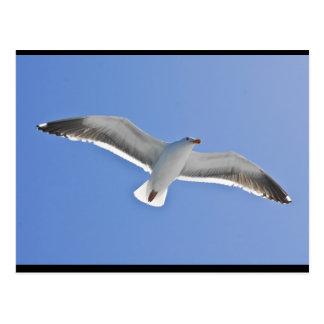 Anacapa Island, Western Gull Postcard