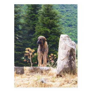 Anatolian Shepherd Dog -  Ephesus, Turkey Postcard