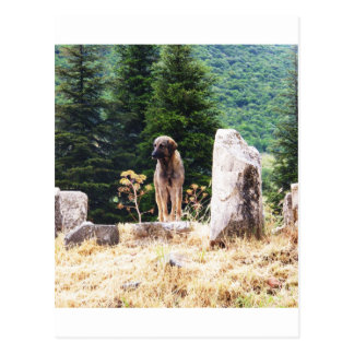 Anatolian Shepherd Dog  photograph taken at Ephesu Postcard