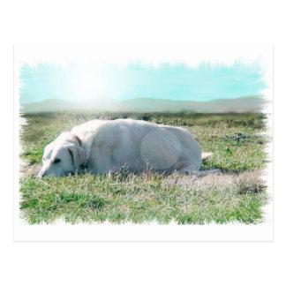 Anatolian shepherd post cards