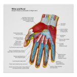 Anatomical Diagram of the Human Hand and Wrist Print