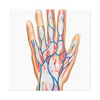 Anatomy Of Back Of Human Hand Canvas Print
