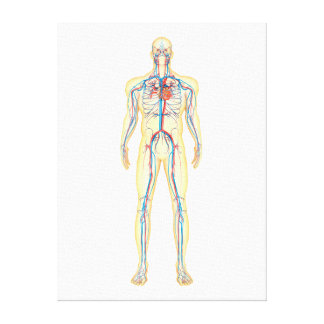 Anatomy Of Human Body And Circulatory System Canvas Print