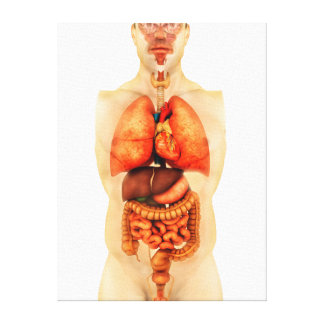 Anatomy Of Human Body Showing Whole Organs 1 Canvas Print