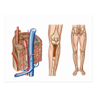 Anatomy Of Human Bone Marrow Postcard