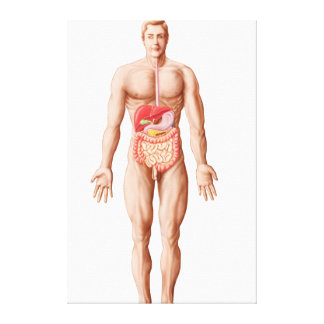 Anatomy Of Human Digestive System, Male Canvas Print