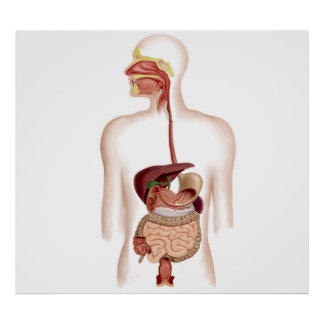 Anatomy Of Human Digestive System Poster