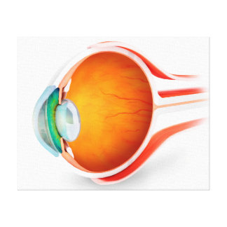Anatomy Of Human Eye, Perspective Canvas Print
