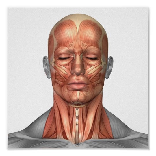 Anatomy Of Human Face And Neck Muscles, Front