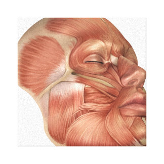 Anatomy Of Human Face Muscles Canvas Print