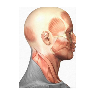 Anatomy Of Human Face Muscles, Side View Canvas Print