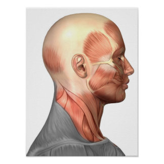 Anatomy Of Human Face Muscles, Side View Posters