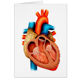 Anatomy Of Human Heart, Cross Section Card