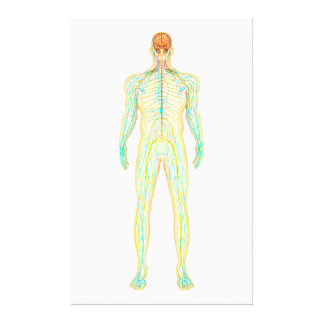 Anatomy Of Human Nervous And Lymphatic System Canvas Print