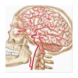 Anatomy Of Human Skull, Eyeball And Arteries Canvas Print