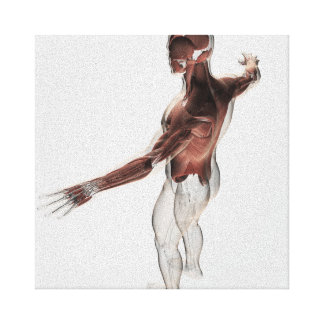 Anatomy Of Male Muscles In Upper Body 2 Canvas Print