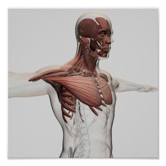 Anatomy Of Male Muscles In Upper Body, Anterior
