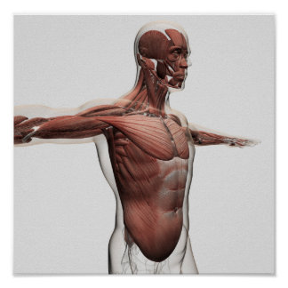 Anatomy Of Male Muscles In Upper Body, Side View Posters