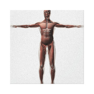 Anatomy Of Male Muscular System, Front View 1 Canvas Print