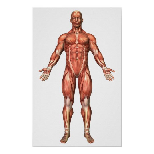 Anatomy Of Male Muscular System, Front View 2