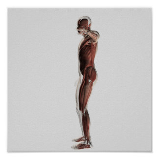 Anatomy Of Male Muscular System, Side View 3 Print