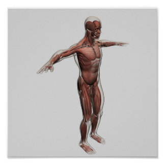 Anatomy Of Male Muscular System, Side View 4 Posters