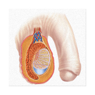 Anatomy Of Male Testis Canvas Print