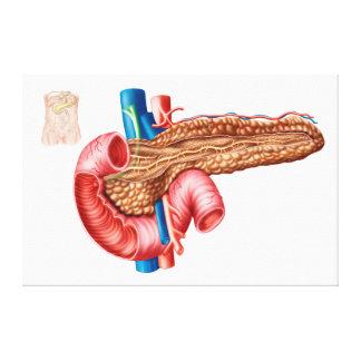 Anatomy Of Pancreas Canvas Print
