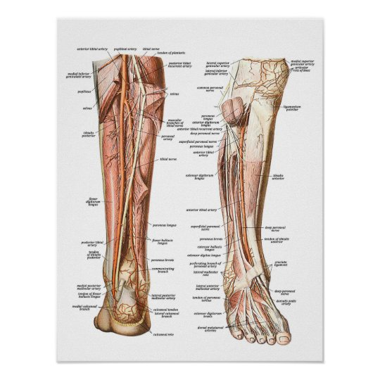 Anatomy of the Feet Poster