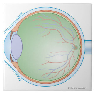 Anatomy of the Human Eye Tile