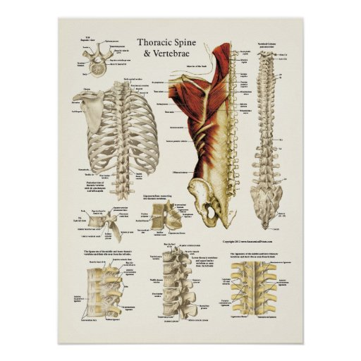 Anatomy of the Thoracic Spine and Vertebrae Poster