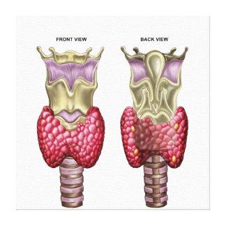 Anatomy Of Thyroid Gland With Larynx & Cartilage Canvas Print