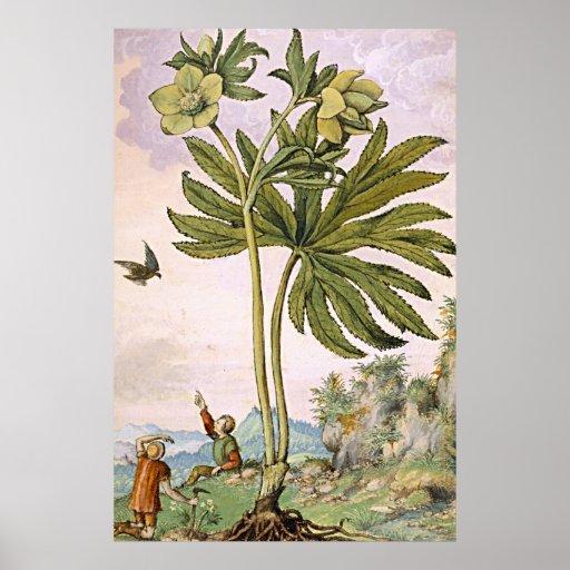 Ancient Botanical Art Green Helibore Poster