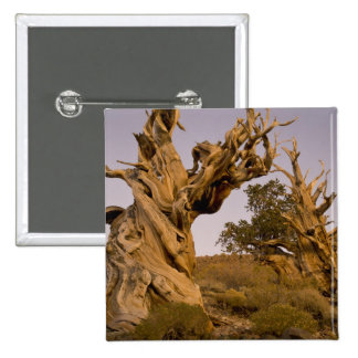 Ancient Bristlecone Forest White Mountains CA Button