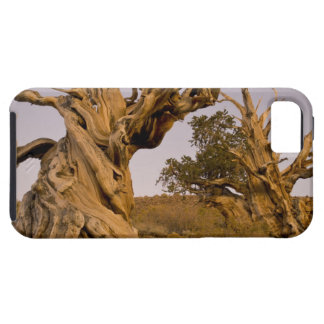Ancient Bristlecone Forest, White Mountains, CA iPhone 5 Covers