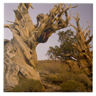 Ancient Bristlecone Forest, White Mountains, CA Tile