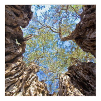 Ancient olive tree, Cyprus Acrylic Print