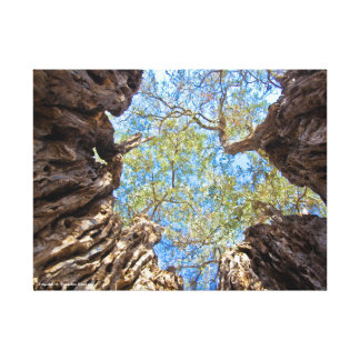 Ancient olive tree, Cyprus Canvas Print