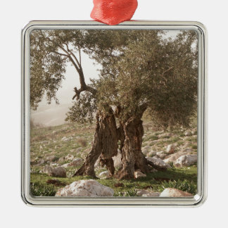 ancient olive tree from north of jordan Silver-Colored square decoration