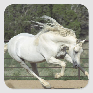 Andalusian Stallion running, PR Square Sticker