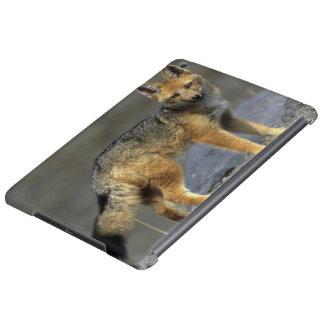 Andean Fox, (Dusicyon culpaeus), Paramo Cotopaxi
