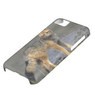 Andean Fox, (Dusicyon culpaeus), Paramo Cotopaxi iPhone 5C Case