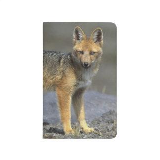 Andean Fox, (Dusicyon culpaeus), Paramo Cotopaxi Journal