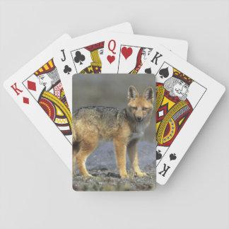 Andean Fox, (Dusicyon culpaeus), Paramo Cotopaxi Playing Cards