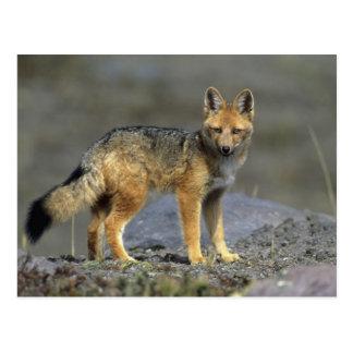 Andean Fox, (Dusicyon culpaeus), Paramo Cotopaxi Postcard