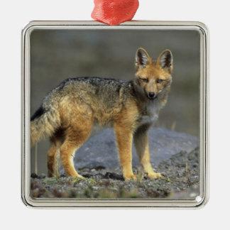 Andean Fox, (Dusicyon culpaeus), Paramo Cotopaxi Silver-Colored Square Decoration