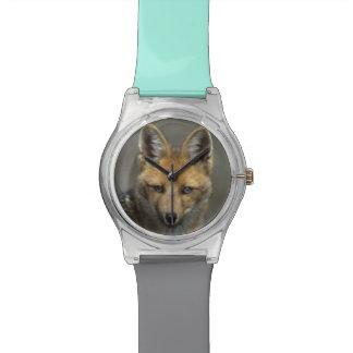 Andean Fox, (Dusicyon culpaeus), Paramo Cotopaxi Watch