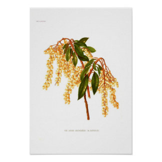 Andromeda japonica posters