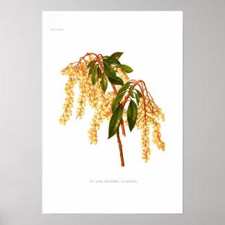 Andromeda japonica poster